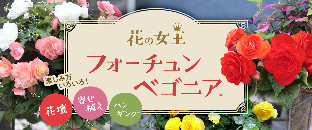 花壇、寄せ植え、ハンギング 楽しみ方いろいろ!花の女王 フォーチュンベゴニア(R)