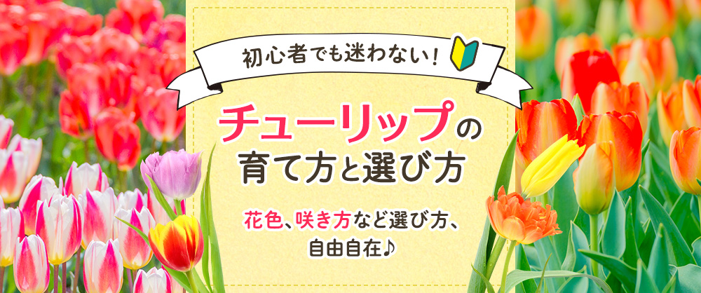 花色、咲き方など選び方が自由自在!チューリップの育て方と選び方